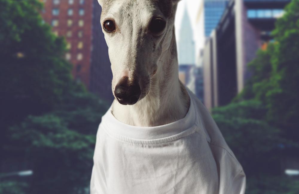 Tシャツを着る犬(ウィペット)