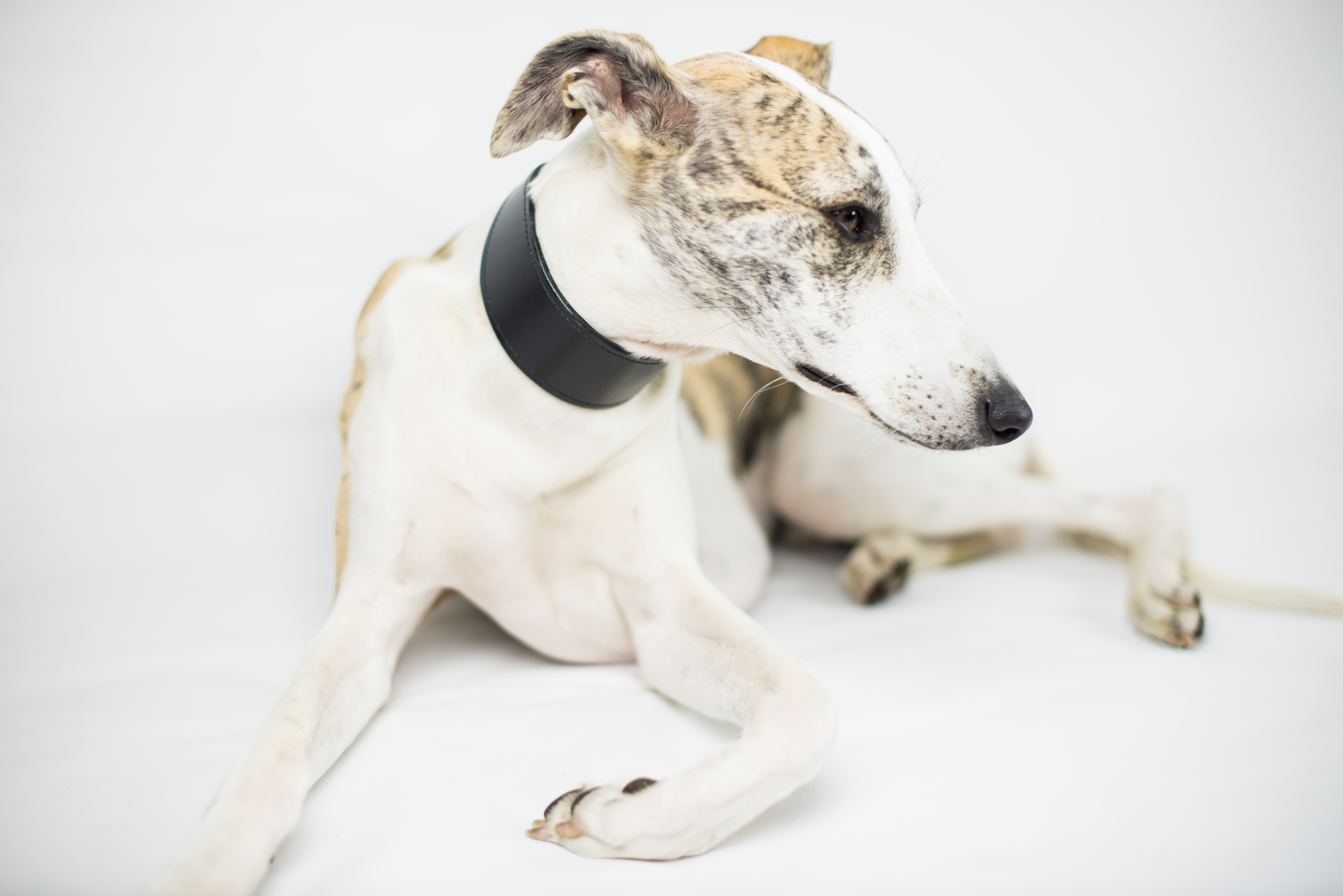 ロンドン発のドッグブランド「Dogsnug」のブラックレザーの幅広カラー