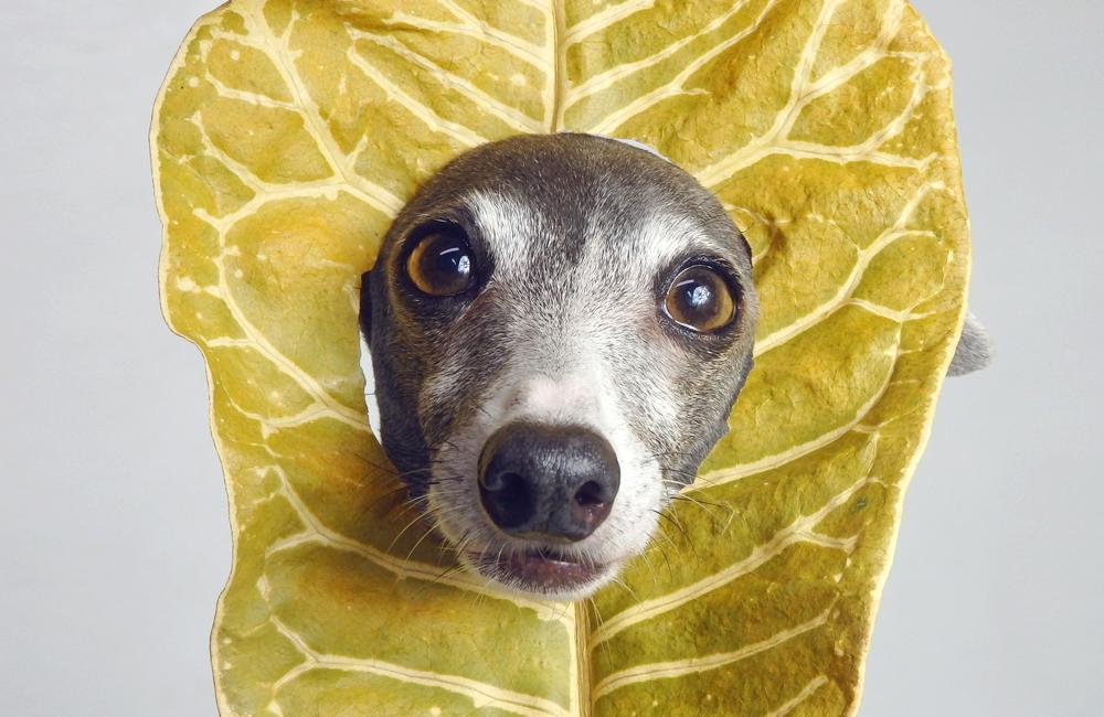店休日のお知らせ:木の葉の妖精ダーコ
