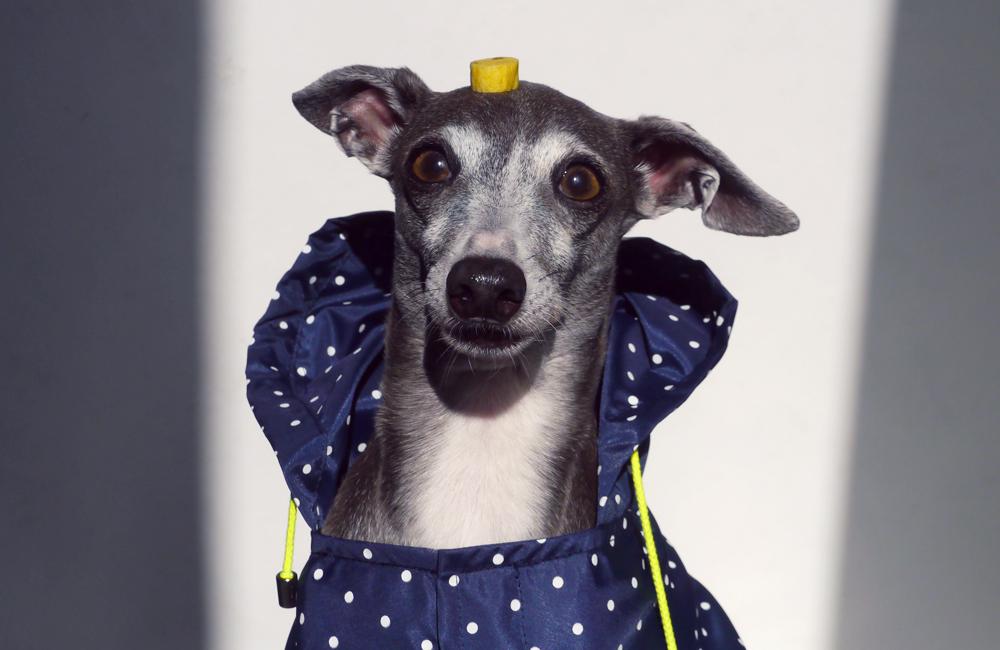 モデル犬、ダーコ店長。笑