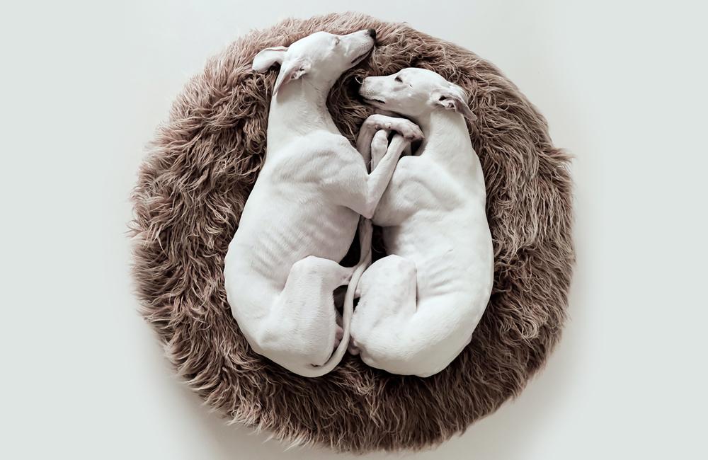 ドイツ生まれのドッグブランド「Cloud7」から愛犬用丸いベッド(プフタイプ) with ホワイトウィペット