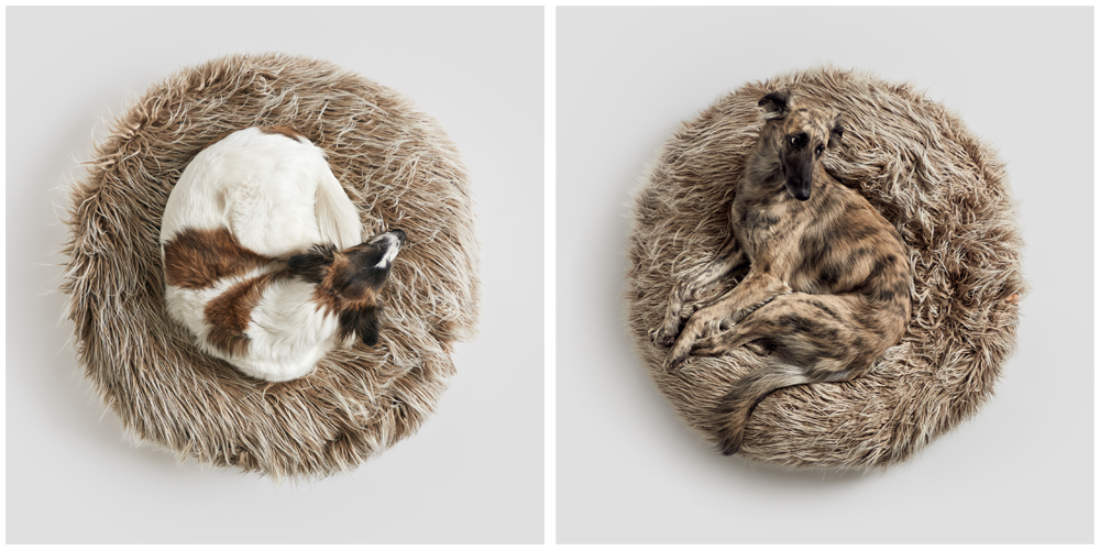 丸まって眠るドイツの犬達。Silken Windsprite、long haired whippet という犬種です。