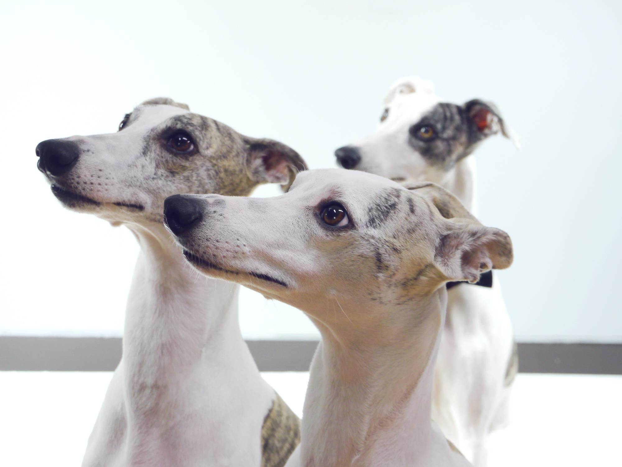 「DOGSNUG(ドッグスナッグ)」の撮影に挑んでくれた山口県在住のウィペットの女の子達
