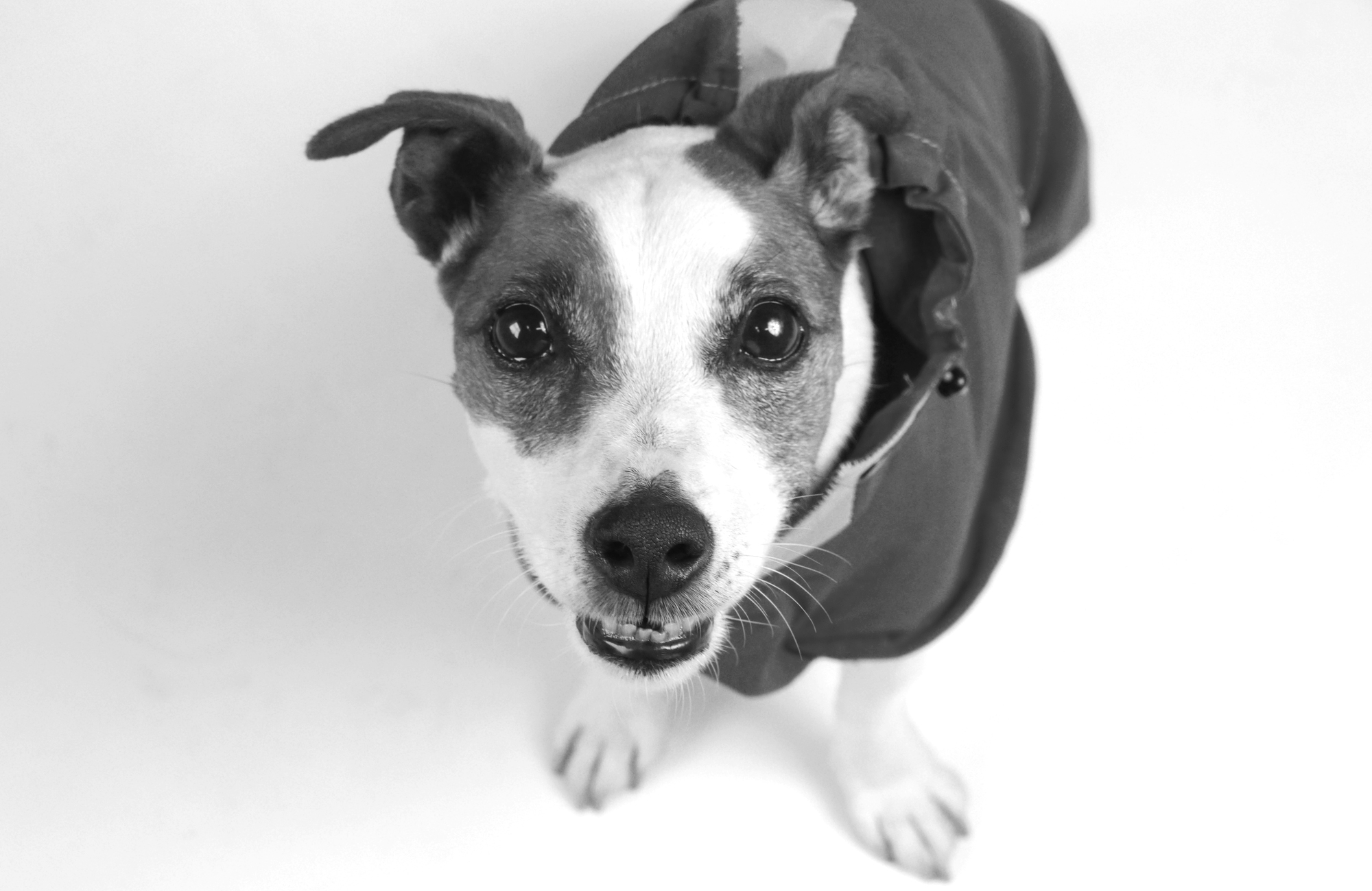 BEAST COATS ギャラリー : ジャックラッセルテリアのロビンさん with Dogsnug のレインコート