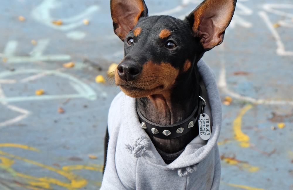 Rocky Balboa Dog Hoodie | PETHASU