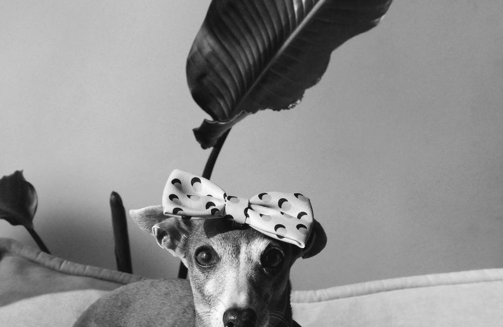"photo gallery of BEAST COAST / zee dog bowtie ""Polka"" and Darco"